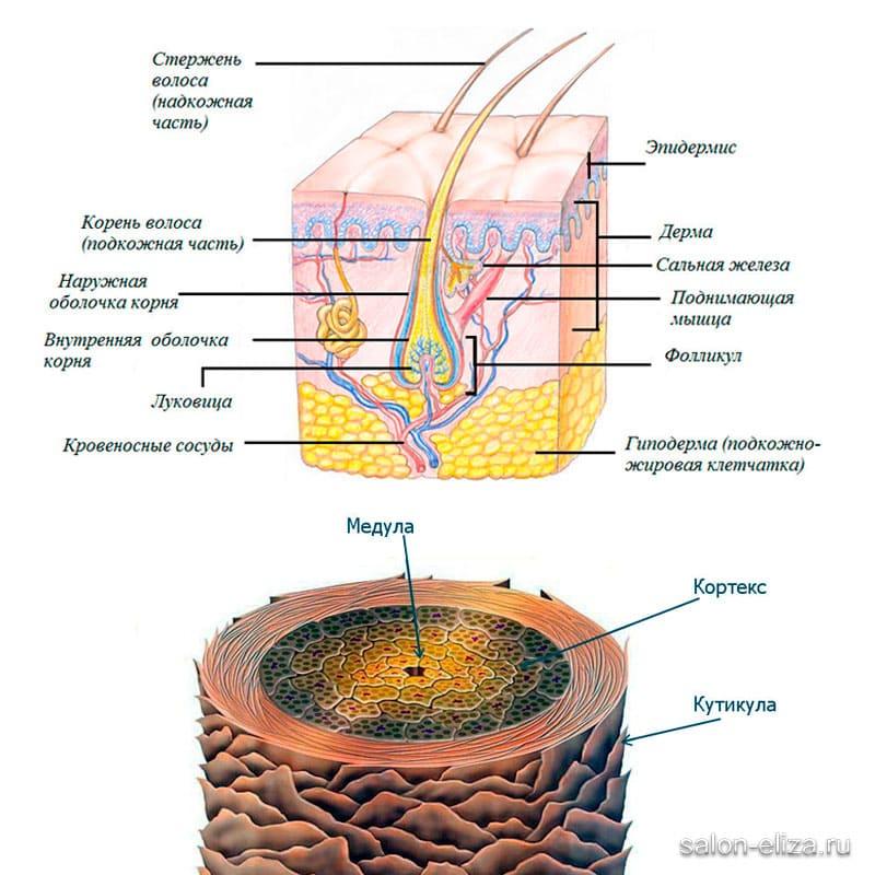 Строение и структура волос
